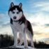 من ذئب إلى كلب – فيرجينيا مورل